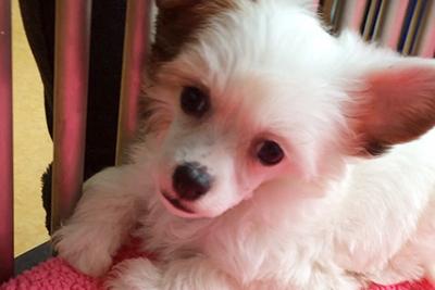 Resultado de imagen para Chinese Crested  犬